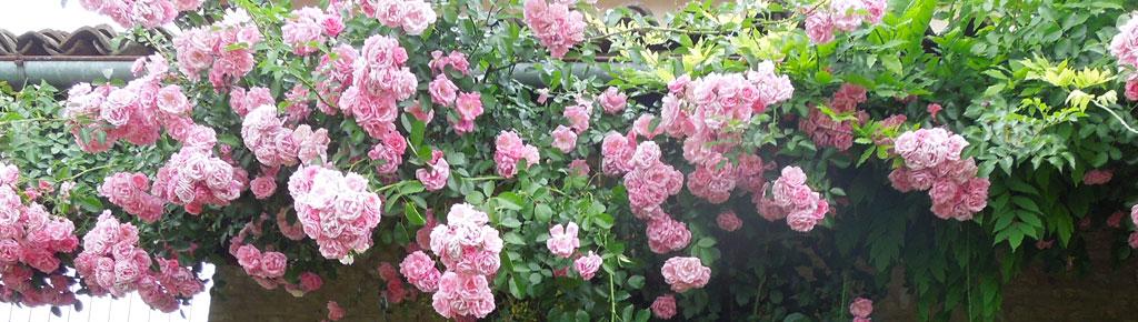 Fioritura delle rose