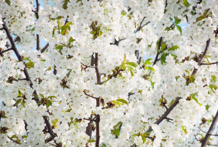 Flowering in Casarovelli